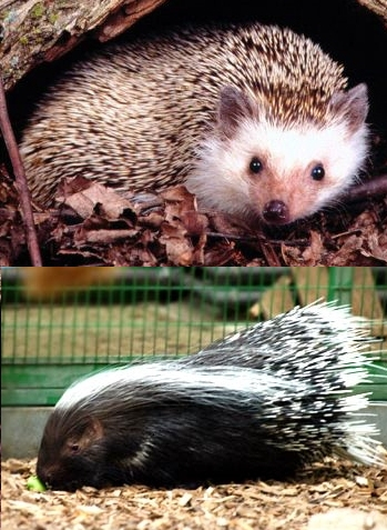 HedgehogandPorcupinefin